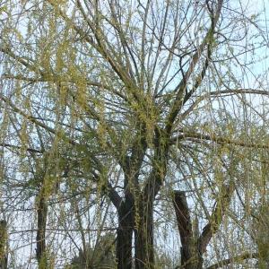 Photographie n°25681 du taxon Salix babylonica L. [1753]
