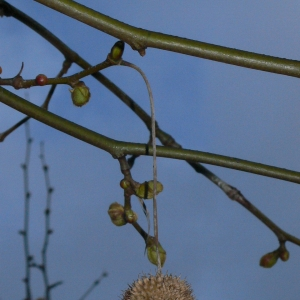 Photographie n°25684 du taxon Platanus x hispanica Mill. ex Münchh.