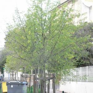 Photographie n°25751 du taxon Acer monspessulanum L.