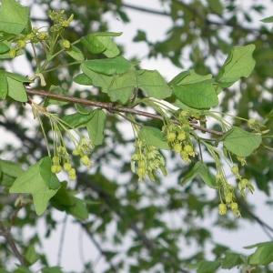 Photographie n°25754 du taxon Acer monspessulanum L. [1753]