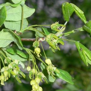 Photographie n°25755 du taxon Acer monspessulanum L. [1753]