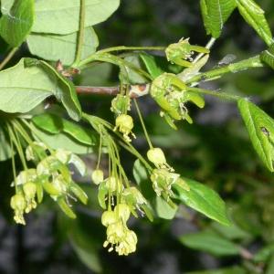 Photographie n°25756 du taxon Acer monspessulanum L. [1753]