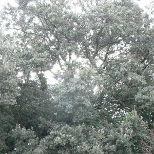 Photographie n°25769 du taxon Quercus ilex L. [1753]