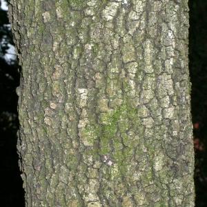 Photographie n°25772 du taxon Quercus ilex L. [1753]