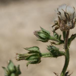 Photographie n°25790 du taxon Picris echioides L.
