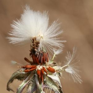 Photographie n°25793 du taxon Picris echioides L.
