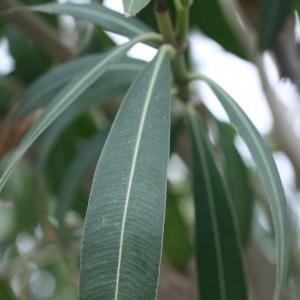 Photographie n°25836 du taxon Nerium oleander L. [1753]