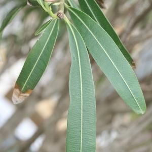 Photographie n°25841 du taxon Nerium oleander L. [1753]