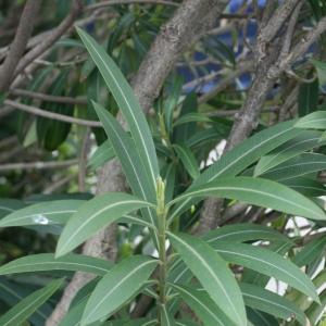 Photographie n°25846 du taxon Nerium oleander L. [1753]