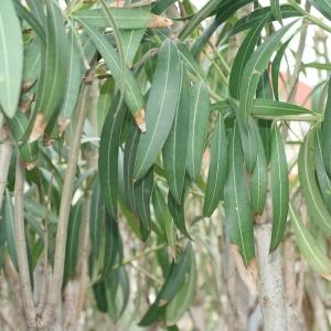 Photographie n°25847 du taxon Nerium oleander L. [1753]