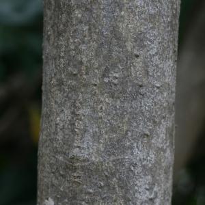 Photographie n°25853 du taxon Nerium oleander L. [1753]
