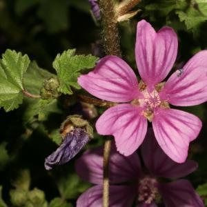 Photographie n°25870 du taxon Malva sylvestris L.