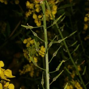 Photographie n°25894 du taxon Sinapis alba L. [1753]