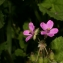 Pierre Bonnet - Erodium malacoides (L.) L'Hér.