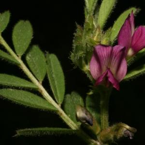 Photographie n°25974 du taxon Vicia sativa L. [1753]