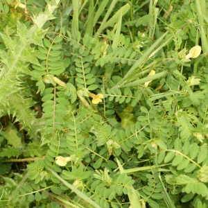 Photographie n°25981 du taxon Vicia sativa L. [1753]