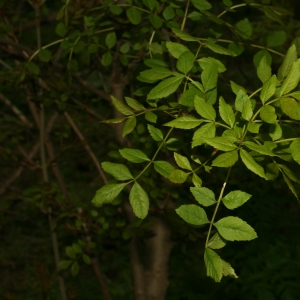 Photographie n°25993 du taxon Fraxinus angustifolia Vahl