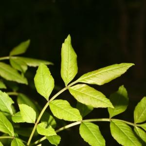 Photographie n°25994 du taxon Fraxinus angustifolia Vahl
