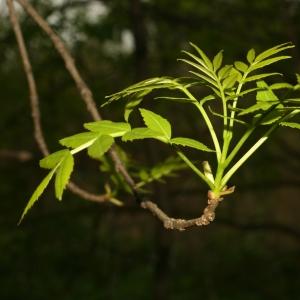 Photographie n°25995 du taxon Fraxinus angustifolia Vahl