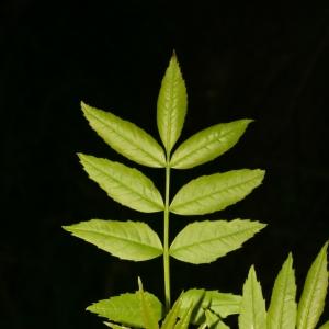 Photographie n°25997 du taxon Fraxinus angustifolia Vahl