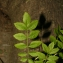 Pierre Bonnet - Fraxinus angustifolia Vahl