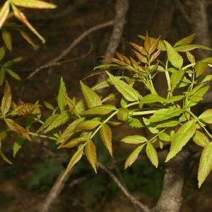 Photographie n°26001 du taxon Fraxinus angustifolia Vahl