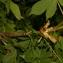 Pierre Bonnet - Aesculus hippocastanum L. [1753]