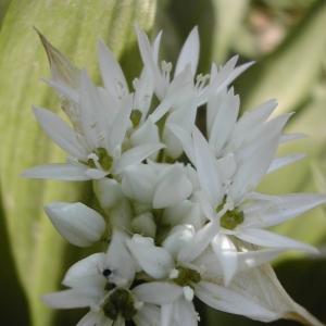 Photographie n°26145 du taxon Allium ursinum L. [1753]