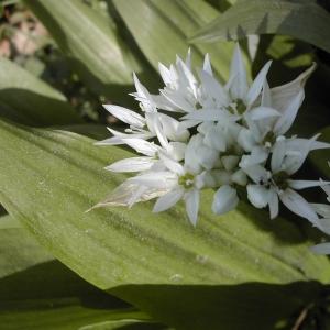 Photographie n°26147 du taxon Allium ursinum L. [1753]