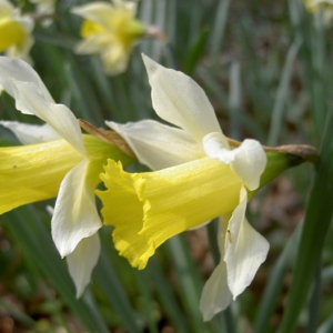Photographie n°26153 du taxon Narcissus pseudonarcissus L. [1753]