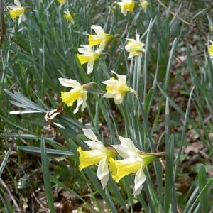 Photographie n°26154 du taxon Narcissus pseudonarcissus L. [1753]