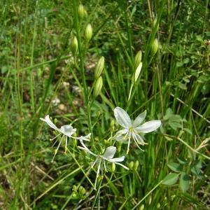 Photographie n°26156 du taxon Anthericum ramosum L.