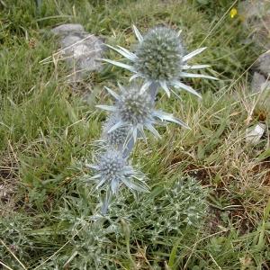 Photographie n°26161 du taxon Eryngium bourgatii Gouan