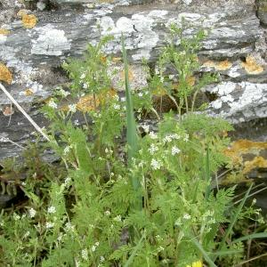 Photographie n°26199 du taxon Anthriscus caucalis M.Bieb.