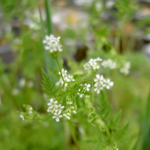 Anthriscus chaerophyllea Druce (Anthrisque commun)