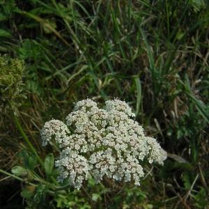 Daucus carota subsp. gadecaei (Rouy & E.G.Camus) Heywood (Carotte de Gadeceau)