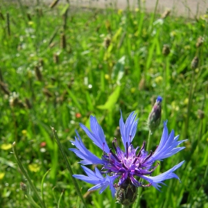 Photographie n°26268 du taxon Centaurea cyanus L.
