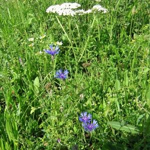 Photographie n°26276 du taxon Centaurea cyanus L.