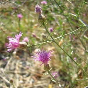 Photographie n°26303 du taxon Centaurea paniculata L.