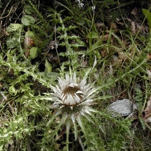 Photographie n°26322 du taxon Carlina acaulis L.