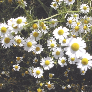 Photographie n°26341 du taxon Matricaria recutita L.