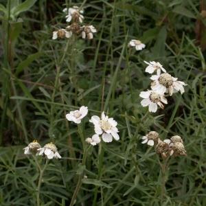 Photographie n°26369 du taxon Achillea ptarmica L.