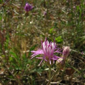 Photographie n°26371 du taxon Centaurea paniculata L.