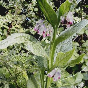 Photographie n°26422 du taxon Symphytum officinale L. [1753]