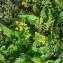 Augustin Roche - Rorippa sylvestris (L.) Besser