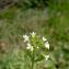 Augustin Roche - Arabidopsis thaliana (L.) Heynh. [1842]