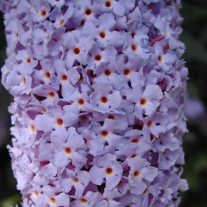 Photographie n°26492 du taxon Buddleja davidii Franch.