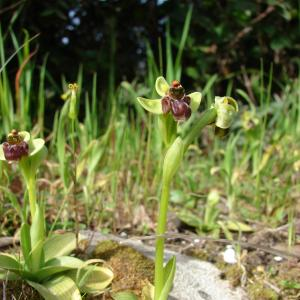 Photographie n°26513 du taxon Ophrys bombyliflora Link [1800]
