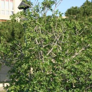 Photographie n°26601 du taxon Ficus carica L.