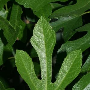 Photographie n°26605 du taxon Ficus carica L. [1753]
